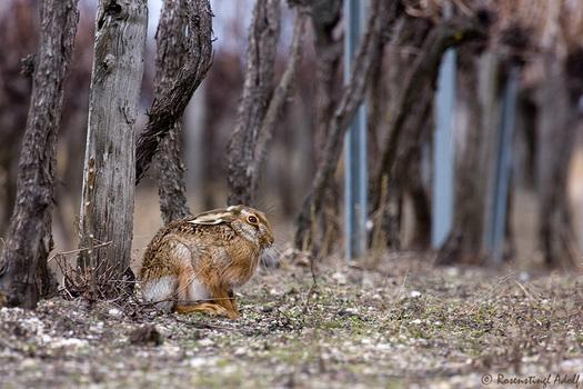 Feldhase im Weingarten