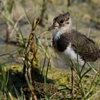Kiebitz-Jungvogel