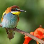 Bienenfresser (Merops apiaster)...