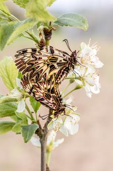 Osterluzeifalter Kopula auf blühenden Zweig