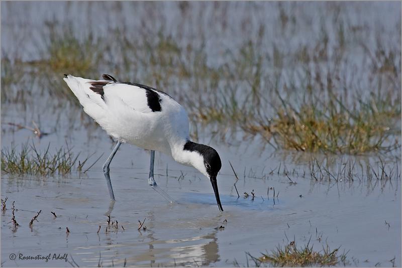 Säbelschnäbler-(Recurvirostra-avosetta)