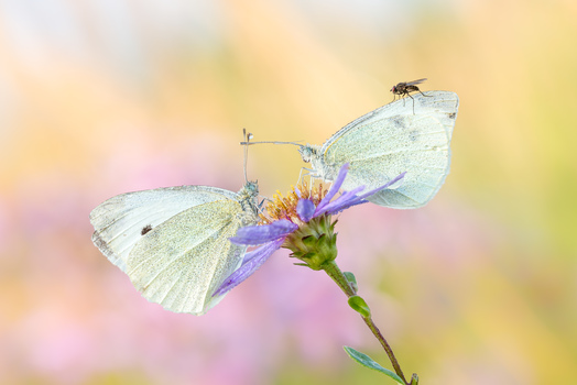 Kohlweißlingduett mit Fliege
