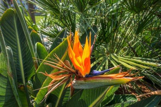 Paradiesvogelblume Strelitzia