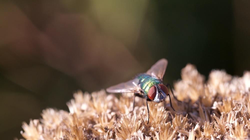 winzige Fliege