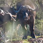 Afrika #8 Büffelbulle