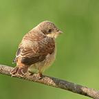 Neuntöter (Lanius collurio) oder Rotrückenwürger Jungvogel