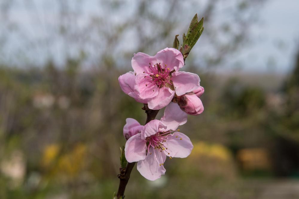 Pfirsichblüte im Garten