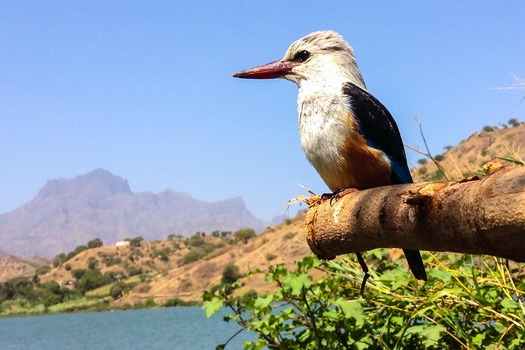 Graukopfliest (Kingfisher), Santiago, Cabo Verde