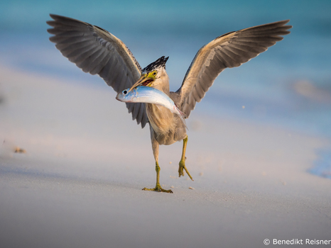 Paddyreiher/Malediven/Angaga