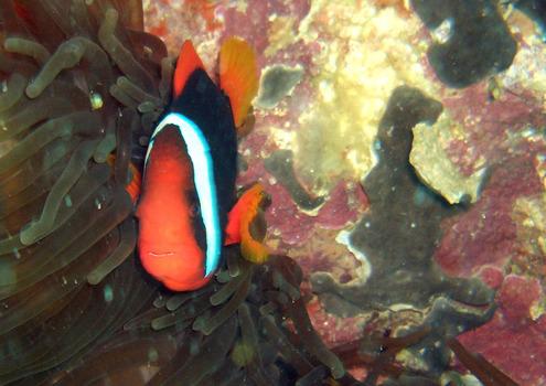 Sebelzahn Nemo