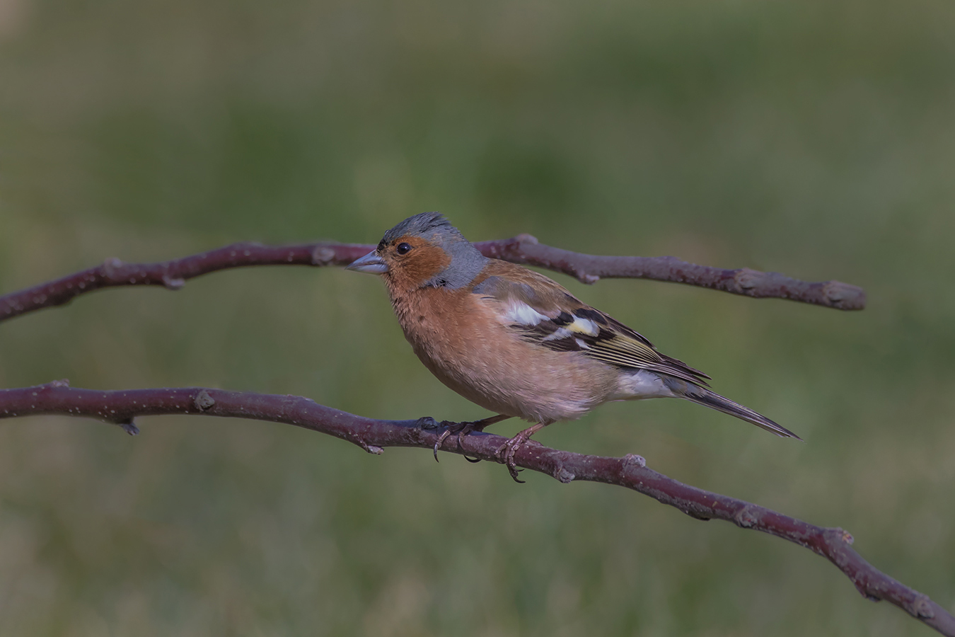 Buchfink (Männchen)