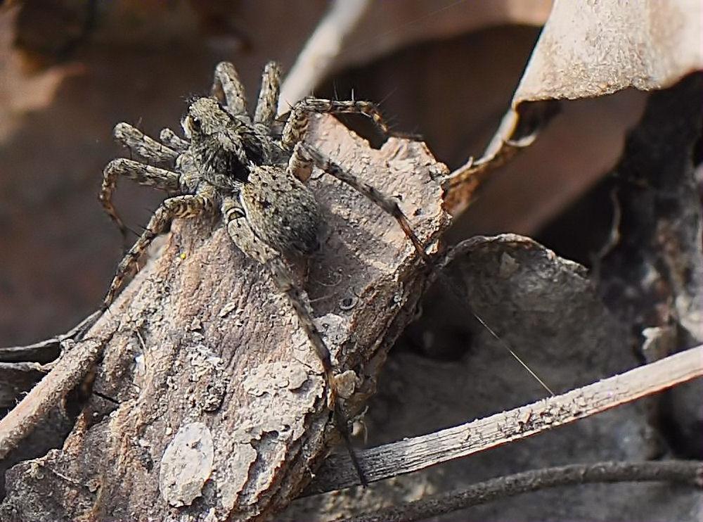 Spinnen Huckepacke