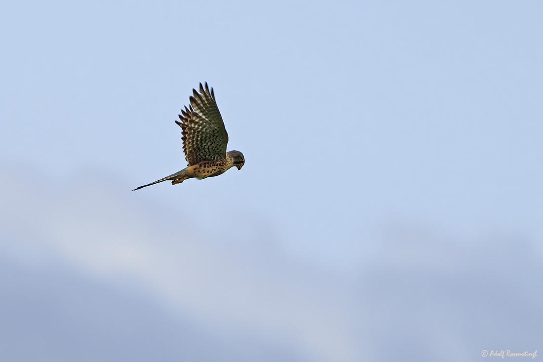 Turmfalke (Falco tinnunculus) Männchen, im Rüttelflug.
