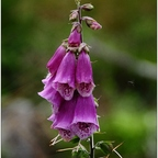 roter Fingerhut (Digitalis)