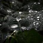 Tautropfen - flüssiges Silber