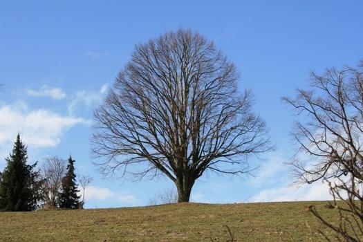 laubloser Baum