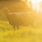 Ein Schaf im Gegenlicht