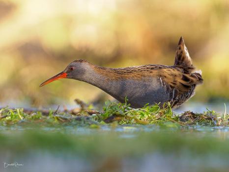 Wasserralle Der Geist aus dem Sumpf