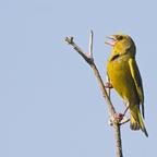 Grünfink (Carduelis chloris) Männchen