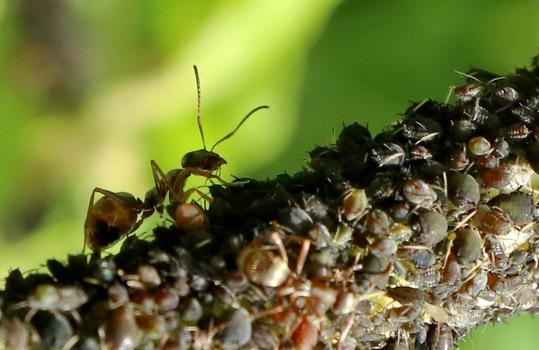 Festmahl für die Ameise