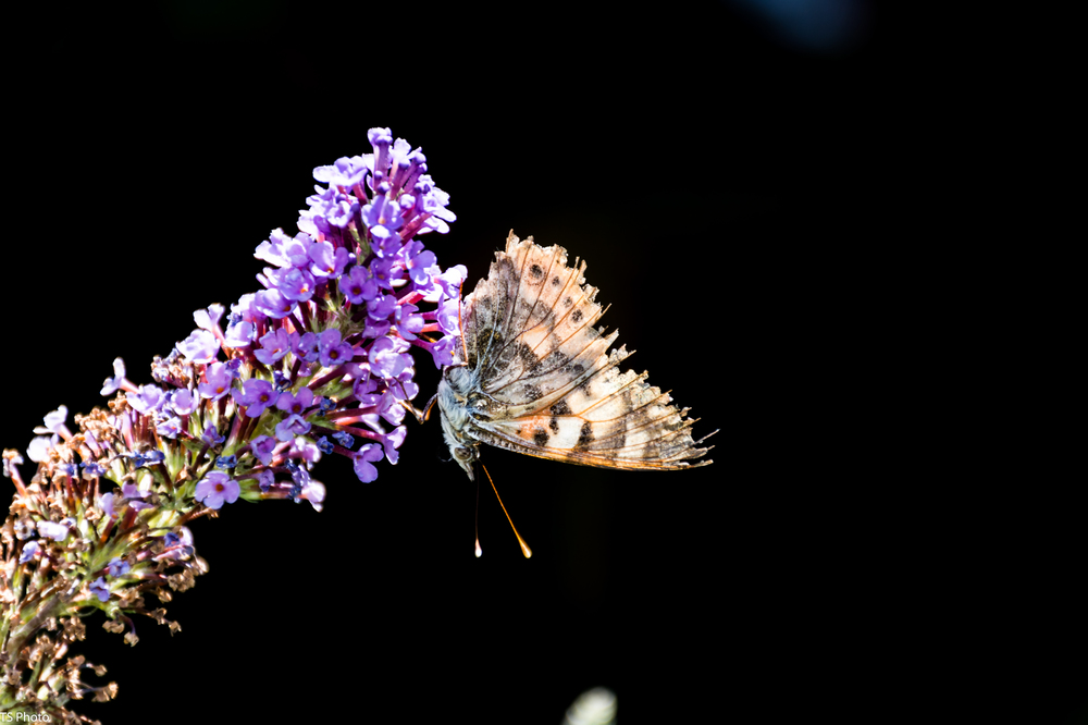 butterfly_flb-1