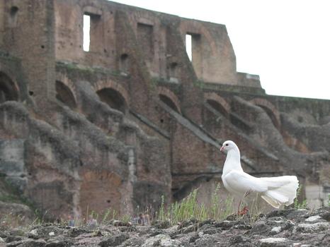 Friedenstaube im Kolosseum - Rom