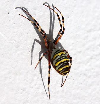 Wespenspinne  (Argiope bruennichi)