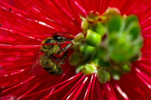 toskanische Biene...