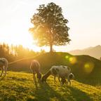 Schafe über Gröbming