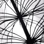 Urform der Pflanze, 1957