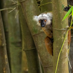 Maki im Bambus