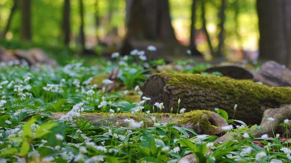 Im Bärlauch-Wald