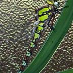 Libelle im Haus
