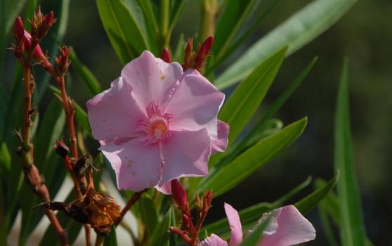 Oleanderblüte