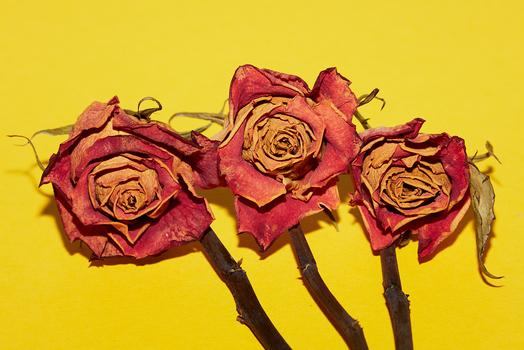 Verblasste Schönheit, getrocknete Rosen,