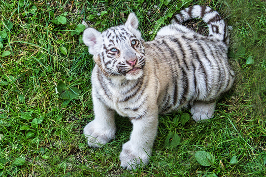 Weisses Tiger Baby