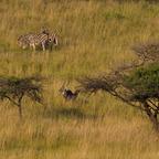 Afrika #13 Zebras und Wasserböcke