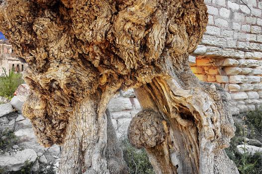 Olivenbaum und alte Masseria  # 2