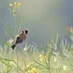 Stieglitz (Carduelis carduelis) am Morgen vertreibt....