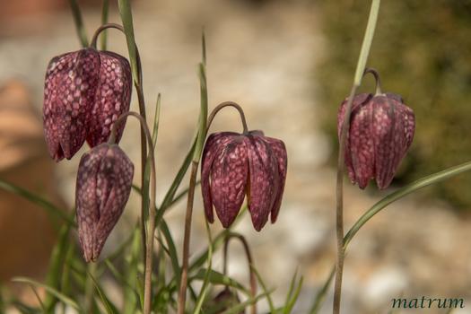 Fritillaria melegaris