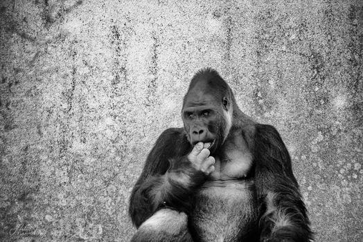 Gorilla ♂