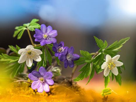 Buschwindröschen und Leberblümchen