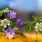 Windbuschröschen und Leberblühmchen
