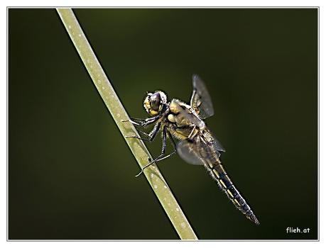 Libelle am Biotop I
