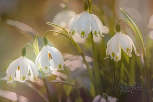 Frühlingsknotenblume (Märzenbecher)