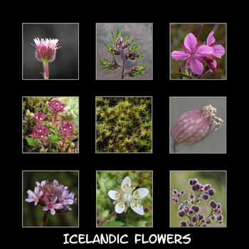 ICELANIC FLOWERS