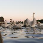 Schwanfütterung Donauinsel