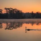 Sonnenaufgang mit Schwan