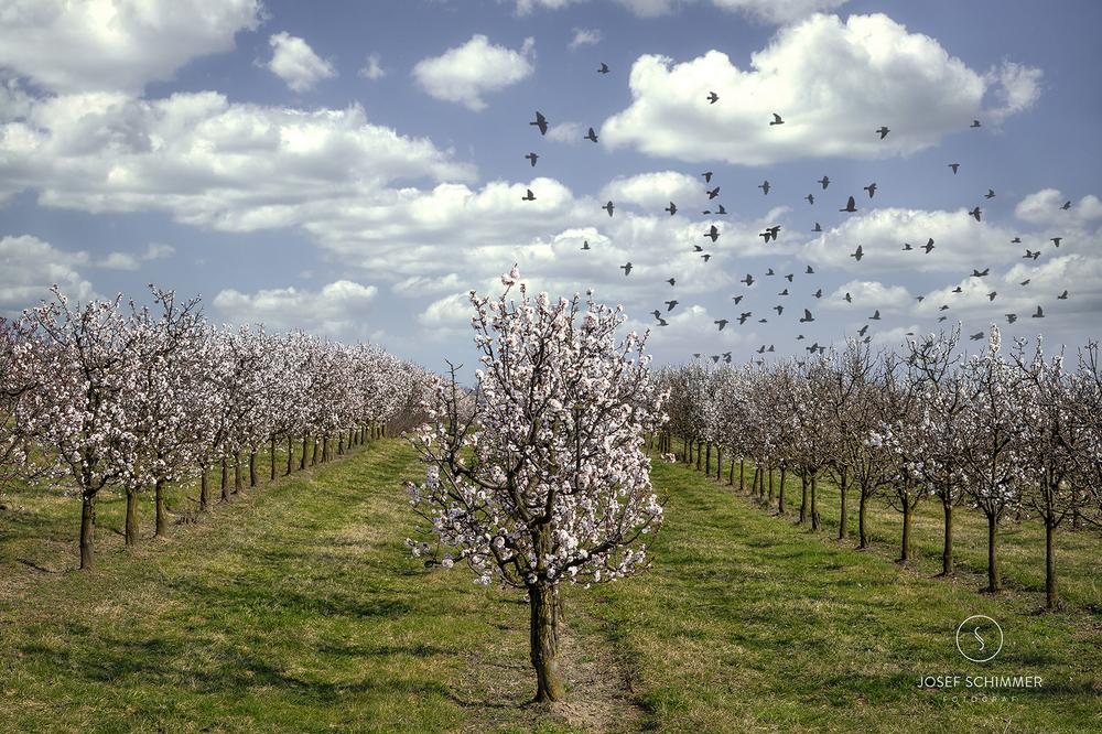 Marillenblüte im Weinviertel
