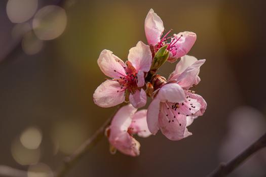 Marillen Blüte
